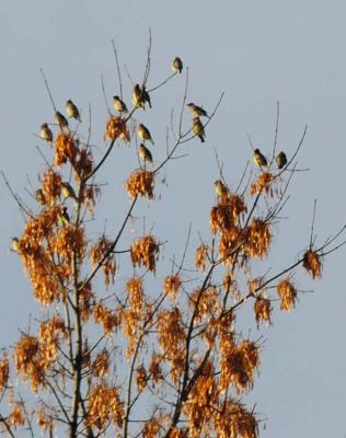 Cedar waxwings seen on the Christmas Bird Count in Sheridan.