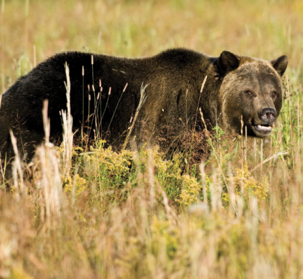 Upset griz near Pebble Creek, YNP.  PHOTO BY MIKE COIL