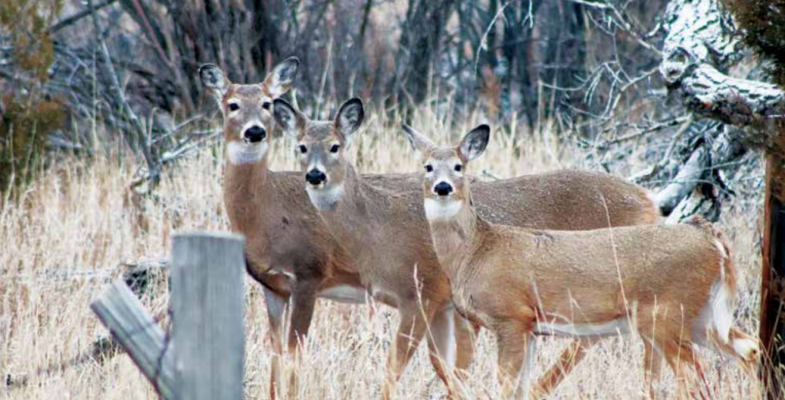 Chronic Wasting Disease was first detected in Southwest Montana white-tailed deer in November 2019. Since then hunter samples of the species have helped Montana Fish, Wildlife & Parks biologists keep a tab on the prevalence and spread. PHOTO BY JOLENE PALMER