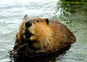 Montana Fish, Wildlife and Parks says while their activities can be a nuisance, beavers present some large ecological benefits to the state's waterways and habitats. (FWP)