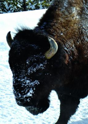 Wildlife, like this bison are plentiful in Yellowstone even during the winter, and fortunate to be outfitted in such sturdy and warm coats. The lack of visitors during the winter offers the animals more freedom to utilize roads without fear of disturbance.