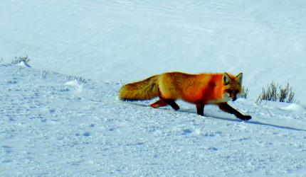 Wildlife, like this red fox are plentiful in Yellowstone even during the winter, and fortunate to be outfitted in such sturdy and warm coats. The lack of visitors during the winter offers the animals more freedom to utilize roads without fear of disturbance.