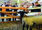 FFA students examine four lambs during the Ruby Valley Invitational on Tuesday, September 25. Competitors had to rank the animals from 1-4 and give oral presentations before judges of the reasons why (R. Colyer photos).