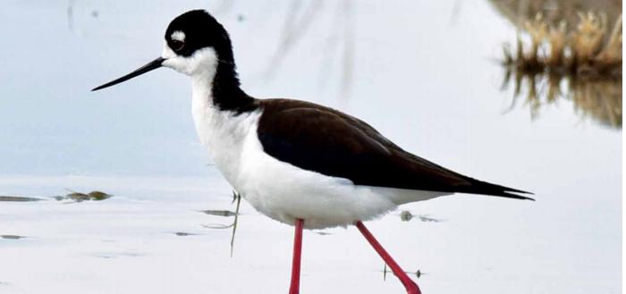 (LEFT) Black-necked Stilt. PHOTO COURTESY GARY SWANT