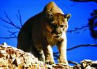 According to Montana Fish, Wildlife and Parks biologist Dean Waltee, hunters harvested 18 mountain lions across his management area during the 2018-19 season.